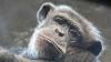 LA UN PAS DE MOARTE. Un cimpanzeu, evadat de la zoo, s-a cățărat pe liniile de înaltă tensiune (VIDEO)