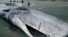 Au rămas ÎNGROZIŢI! Ce au găsit în stomacul unei balene eşuate