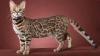 Îți dorești un animal de companie? Patru motive pentru care pisica bengaleză este perfectă pentru tine