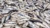 CATASTROFĂ ECOLOGICĂ! Tone de pește mort într-un râu din Chile