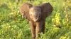 Te topești de atâta drăgălășie! Vezi cum întâmpină un pui de elefant vizitatorii unei rezervații naturale