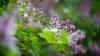 Efectul surprinzător al florilor de liliac. În ce tratamente naturiste sunt folosite
