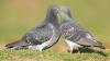Porumbeii sunt simbolul păcii, iubirii şi credinţei. Confesiunile oamenilor care cresc aceste păsări
