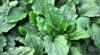 Indicată pentru tuse, gripe și răceli! Planta minune care te ajută să fii sănătos