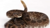 IMAGINI VIRALE! Ce se află în coada unui șarpe cu clopoțel (VIDEO)