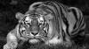 Crimă contra naturii: Tigrul, declarat dispărut în Cambodgia. Iată câte exemplare au mai rămas în lume