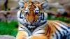 Thailanda: Peste jumătate dintre tigrii salvați dintr-un templu budist, au murit din cauza unei boli virale