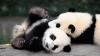 Doi pui de panda au devenit vedetele undei grădini zoologice din China (VIDEO VIRAL)