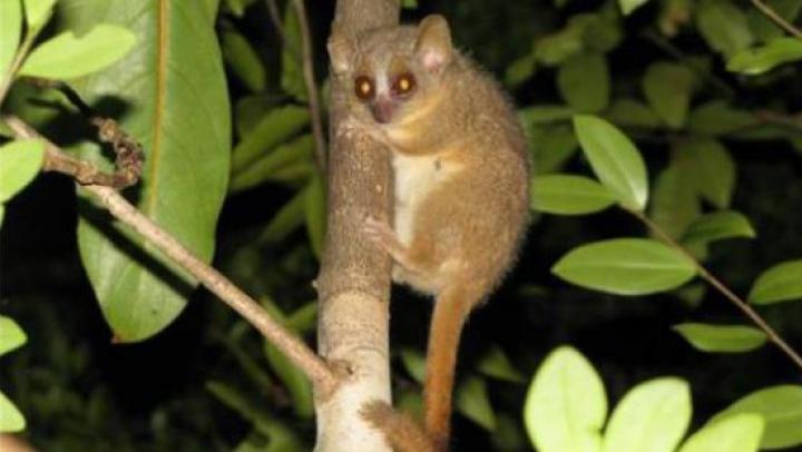 UIMITOR! Cercetătorii au descoperit trei noi specii de primate în Madagascar