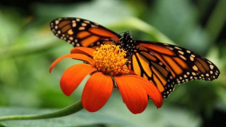 Una din cele mai fascinante călătorii din natură! Misterul migraţiei fluturilor monarhi a fost rezolvat
