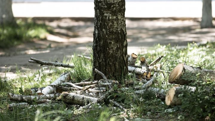 A TĂIA sau A NU TĂIA? Consultări privind defrișarea unor copaci pe principalul bulevard al ţării