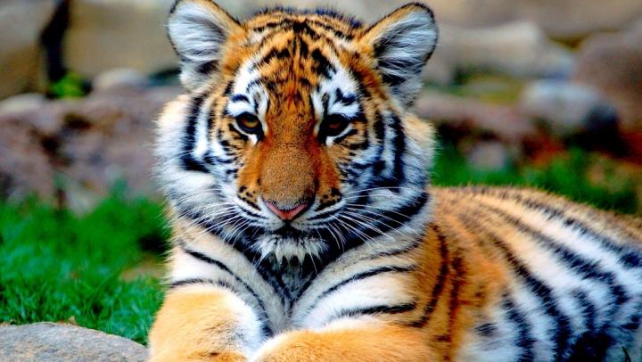 Un tigru a fost ucis la Paris, după ce a scăpat de la un circ