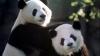 Panda puşi pe şotii! Cum s-au distrat urşii pe seama îngrijitoarei (VIDEO VIRAL)