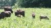 """Mai mulți s-au adunat ca să-l vadă: În familia zimbrilor din """"Pădurea Domnească"""" s-a mai născut un pui"""