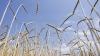 Agricultorii, în căutarea soiurilor de cereale rezistente la secetă. Recomandările specialiștilor