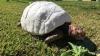 După un accident urât, Freddy a devenit prima ţestoasă cu o carapace 3D (VIDEO)