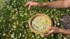 SFATURI UTILE! Cum culegi și păstrezi corect plantele medicinale