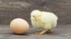 """""""Ce a fost mai întâi, oul sau găina?"""". Cercetătorii susţin că au găsit răspunsul la marea întrebare"""