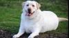 DESCOPERIRE: Tendința spre obezitate a labradorilor, determinată de o mutație genetică
