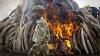 Sute de tone de colți de elefanți, arși la ordinul președintelui kenyan. Scopul ceremoniei e unul dramatic
