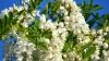 Aromate flori de salcâm! Află ce afecţiuni poţi trata cu ele