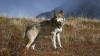 GREU DE IMAGINAT! Un lup este atacat şi fugărit de o OAIE (VIDEO VIRAL)