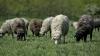 Focar de pestă bovină în Bulgaria. Au fost sacrificate peste 4000 de oi și capre
