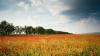 EXPLOZIE DE CULOARE în Moldova! Lanurile de maci în floare atrag toate privirile (FOTOREPORT)