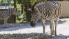 PREZICEREA zebrei Valli s-a ADEVERIT! Oracolul de la zoo Chişinău I-A UIMIT PE TOŢI