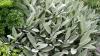 Le poţi cultiva chiar la tine acasă! Plantele care te scapă de lipsa de concentrare