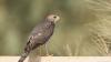 Bucurie pentru ornitologi. O specie RARĂ de păsări s-a reîntors în Moldova după jumătate de secol