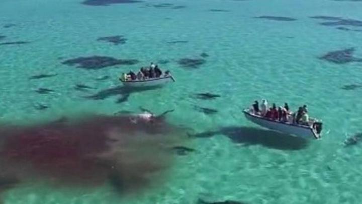 Imagini spectaculoase. O balenă este făcută bucăți de 70 de rechini (VIDEO)
