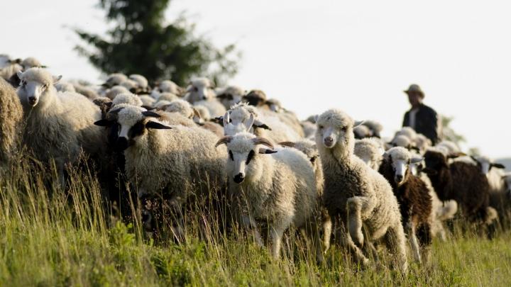 NU E GLUMĂ! O turmă de oi a mâncat canabis și AU LUAT-O RAZNA pe câmp şi au terorizat un sat întreg