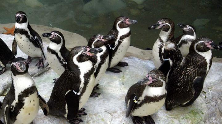PREMIERĂ! În Japonia s-au născut prin inseminare artificială doi pinguini