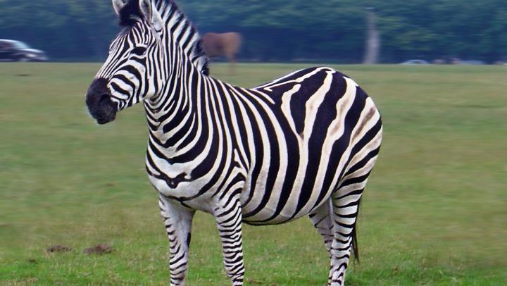 Un pui de zebră dintr-o specie ameninţată cu dispariţia s-a născut la o grădină zoologică din Marea Britanie