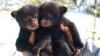 INTERESANT! Doi pui de urs pășesc în natură pentru prima dată (VIDEO)