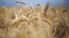 """""""Vom avea pâine pe masă!"""" Agricultorii, în culmea fericirii că vor avea o recoltă de grâu mai mare"""