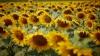 Prognoze optimiste pentru fermieri. Recolta de floarea-soarelui pe hectar va fi mai mare în acest an