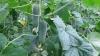 Producţia de legume autohtone, AFECTATĂ DE PLOI. Prognozele agricultorilor