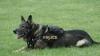 INCREDIBIL! Un câine poliţist A AJUNS PAZNIC PENTRU OI. Patrupedul a fost furat şi dus la stână