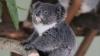Cu siguranţă este cel mai simpatic pui de koala din lume (VIDEO VIRAL)