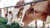INEDIT! O nouă tehnică la vaci pentru a produce mai mult lapte