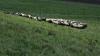 Un cioban și aproape 100 de oi au murit după ce au fost loviți de fulger
