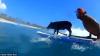 Surfing-ul nu este doar pentru oameni! Un purcel pluteşte pe placa de surf mai ceva ca un om