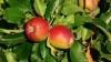 Frunzele de măr pot fi utilizate ca medicament. Remediul neştiut până acum