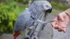 Un papagal ar putea fi chemat ca martor cheie într-un caz de crimă