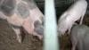 Organe umane, crescute în porci. Reuşita oamenilor de ştiinţă a creat un scandal URIAȘ