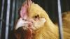 VREA SĂ COMBATĂ SĂRĂCIA. Cofondatorul Microsoft va dona 100.000 de găini ţărilor în curs de dezvoltare