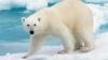 Un urs polar a fost împuşcat mortal după ce a atacat un paznic, la Polul Nord