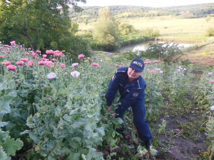 Afacere înfloritoare, dar ILEGALĂ! Ce au găsit poliţiştii în grădinile mai multor persoane (FOTO)
